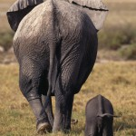"""""""A mother elephant walking with her baby"""""""