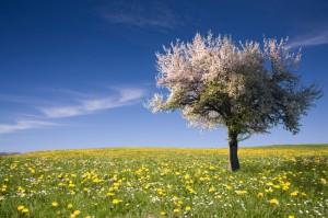springtime tree in field